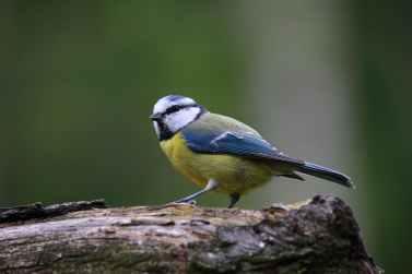 blue-tit-bird-cute-nature.jpg