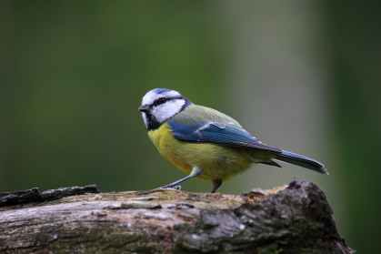 blue-tit-bird-cute-nature.jpg